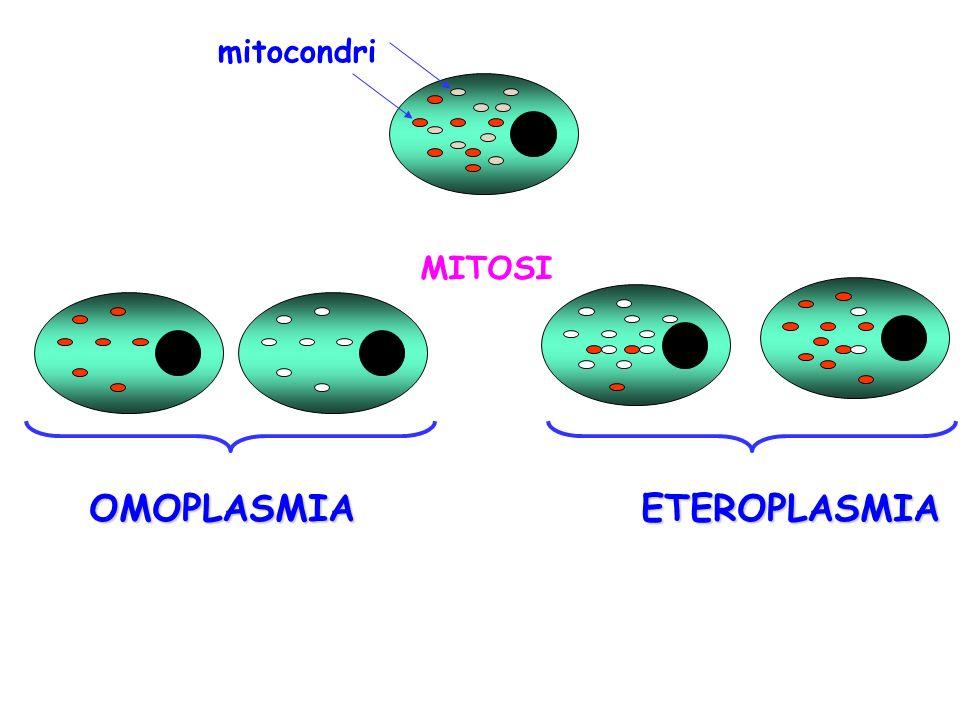 mitocondri MITOSI OMOPLASMIA ETEROPLASMIA