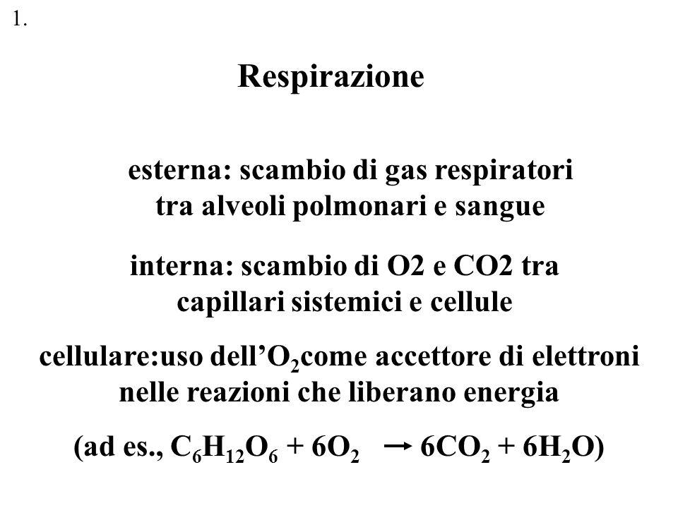 1. Respirazione. esterna: scambio di gas respiratori tra alveoli polmonari e sangue. interna: scambio di O2 e CO2 tra capillari sistemici e cellule.