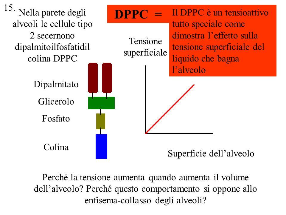 15. Nella parete degli alveoli le cellule tipo 2 secernono dipalmitoilfosfatidilcolina DPPC. DPPC =