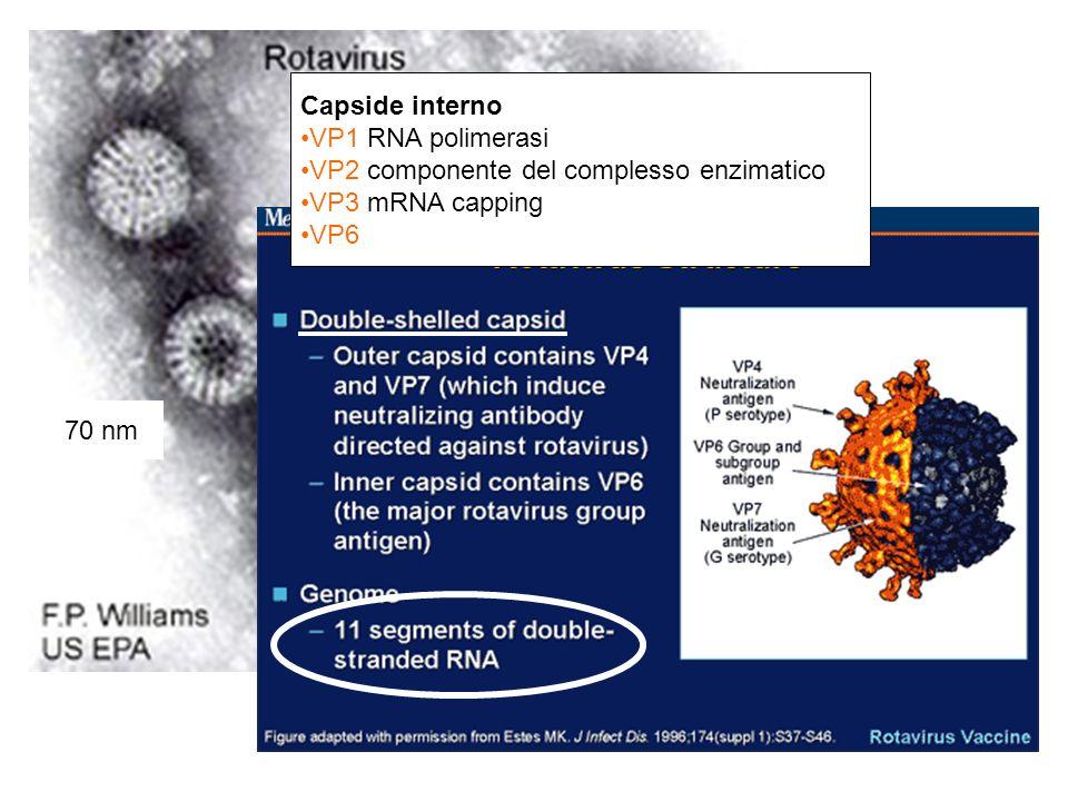 Capside interno VP1 RNA polimerasi. VP2 componente del complesso enzimatico. VP3 mRNA capping. VP6.