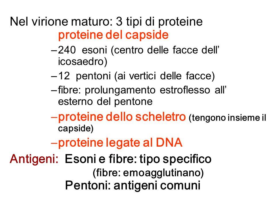 Nel virione maturo: 3 tipi di proteine proteine del capside