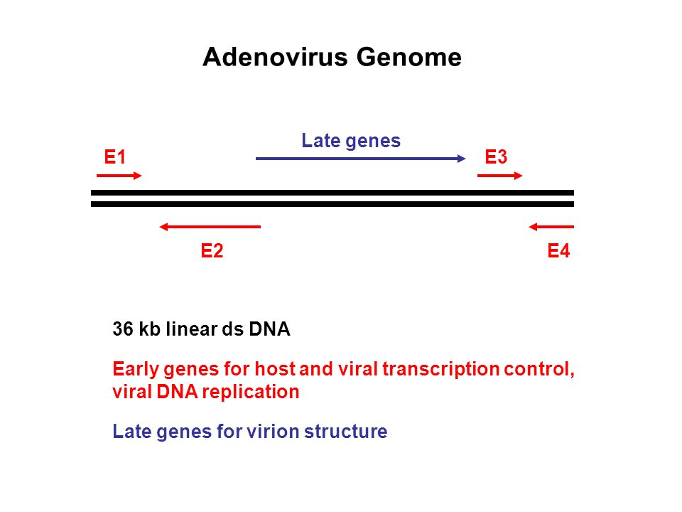 Adenovirus Genome Late genes E1 E3 E2 E4 36 kb linear ds DNA