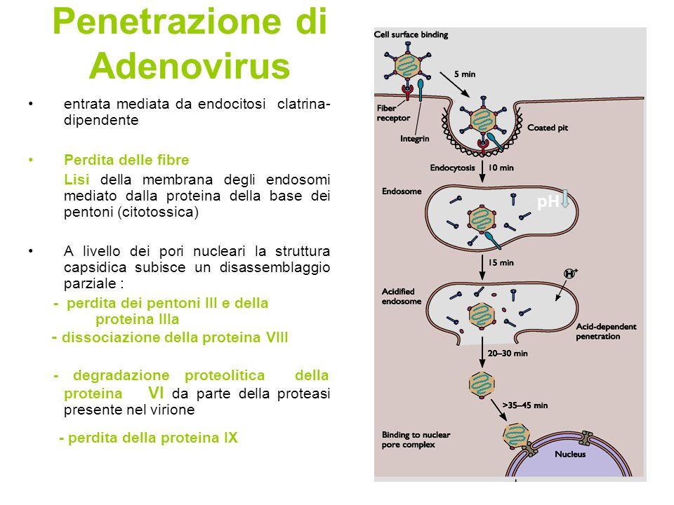 Penetrazione di Adenovirus