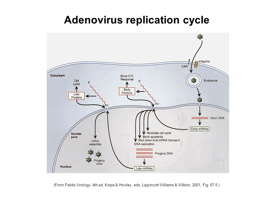 Adenovirus replication cycle