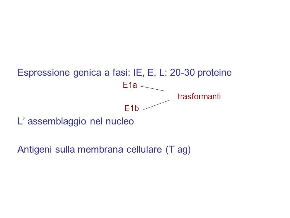 Espressione genica a fasi: IE, E, L: 20-30 proteine