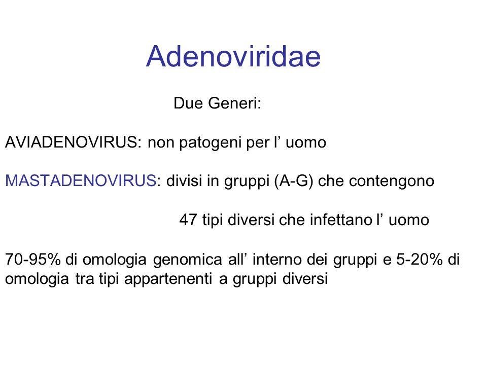 Adenoviridae Due Generi: AVIADENOVIRUS: non patogeni per l' uomo MASTADENOVIRUS: divisi in gruppi (A-G) che contengono 47 tipi diversi che infettano l' uomo 70-95% di omologia genomica all' interno dei gruppi e 5-20% di omologia tra tipi appartenenti a gruppi diversi