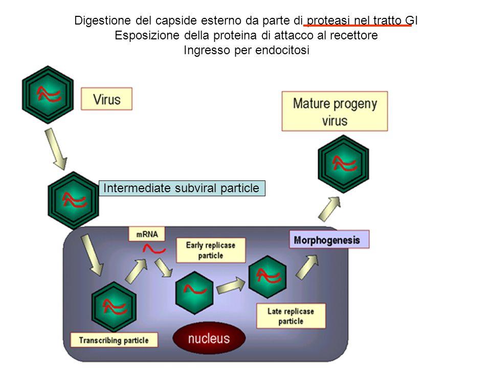 Digestione del capside esterno da parte di proteasi nel tratto GI
