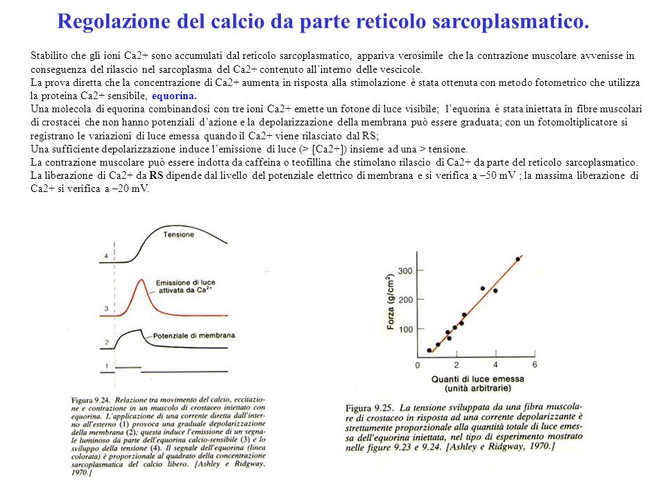 Regolazione del calcio da parte reticolo sarcoplasmatico.