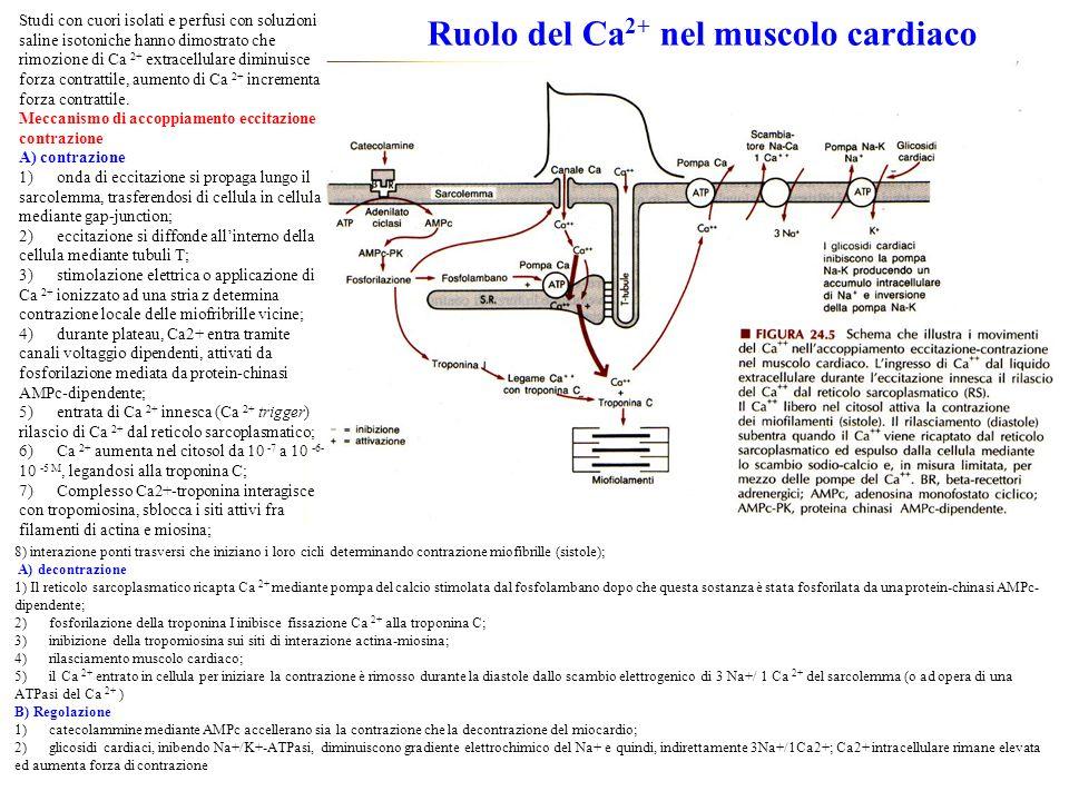 Ruolo del Ca2+ nel muscolo cardiaco