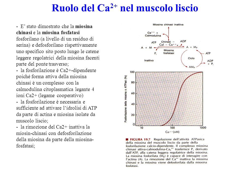 Ruolo del Ca2+ nel muscolo liscio