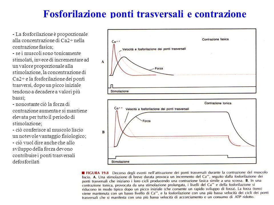 Fosforilazione ponti trasversali e contrazione