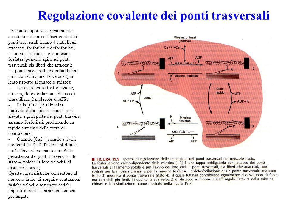 Regolazione covalente dei ponti trasversali
