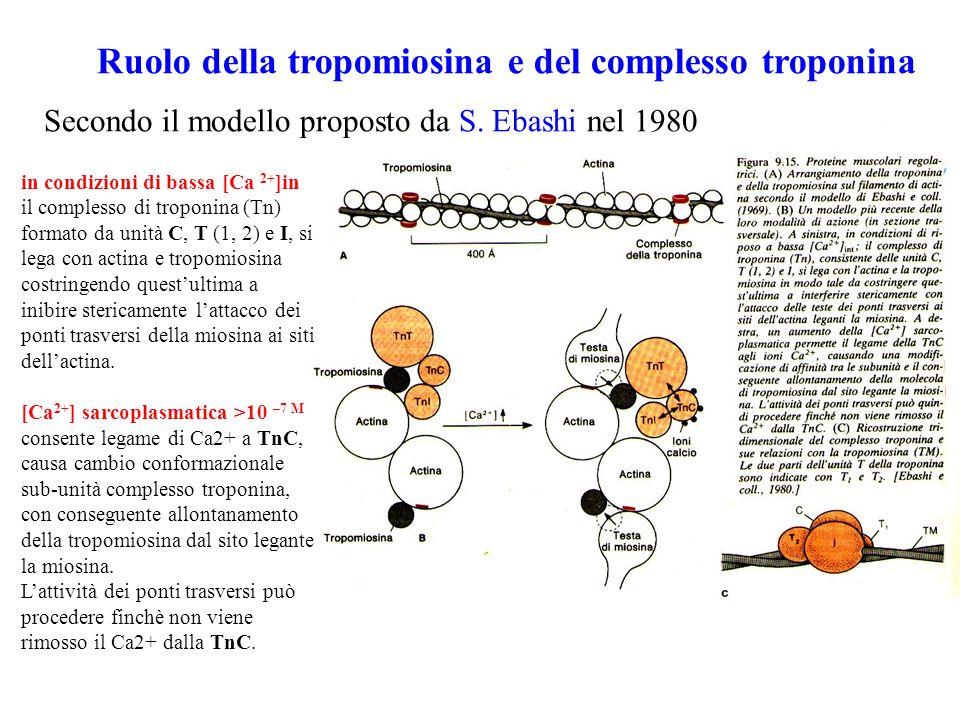 Ruolo della tropomiosina e del complesso troponina
