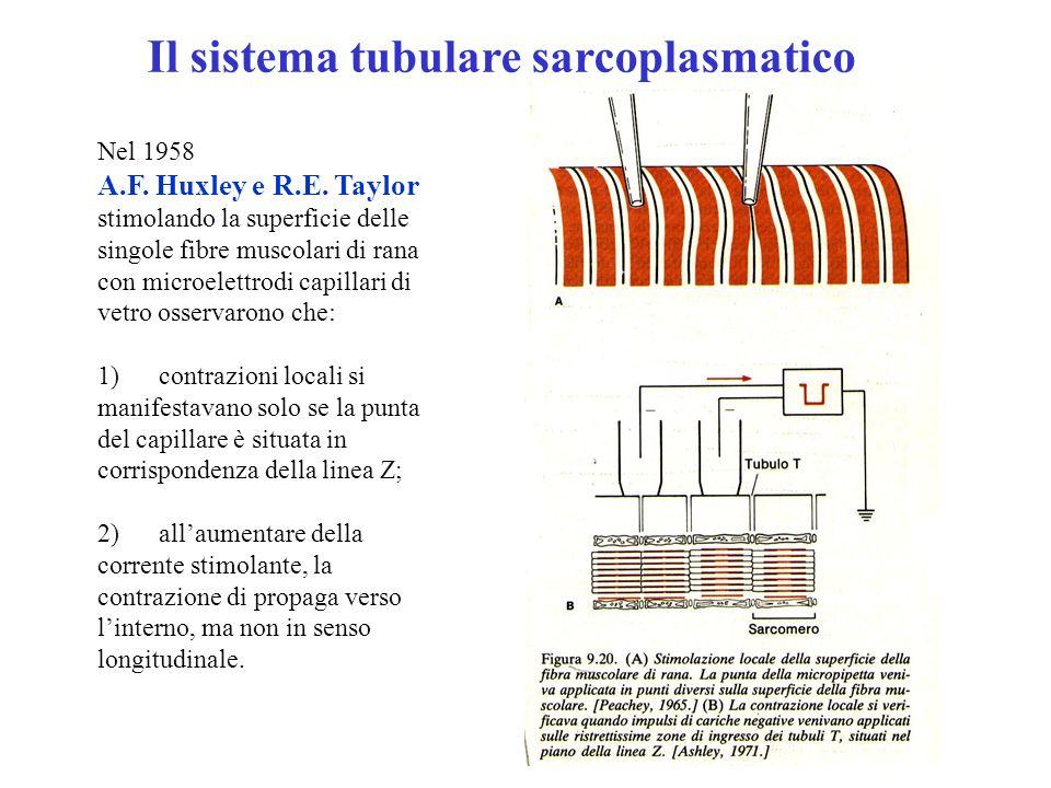 Il sistema tubulare sarcoplasmatico