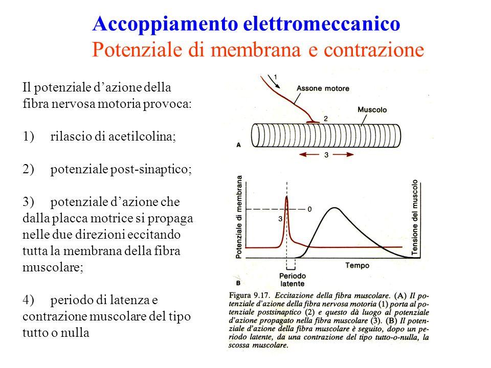 Accoppiamento elettromeccanico Potenziale di membrana e contrazione