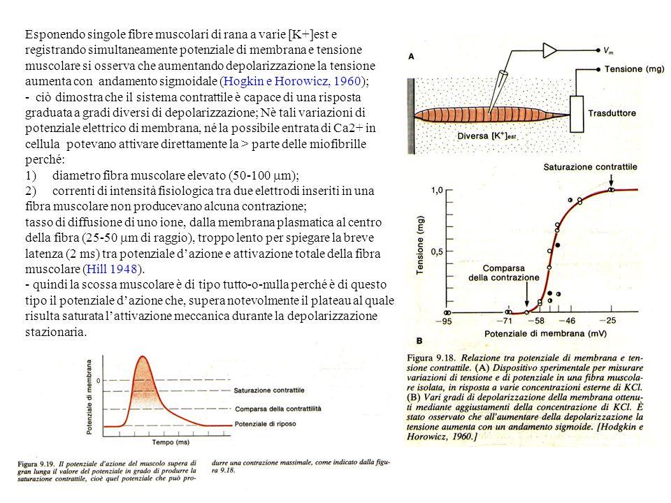 1) diametro fibra muscolare elevato (50-100 m);