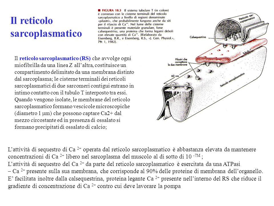 Il reticolo sarcoplasmatico