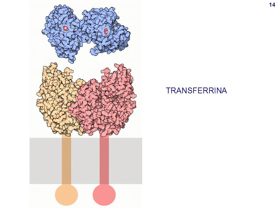 TRANSFERRINA