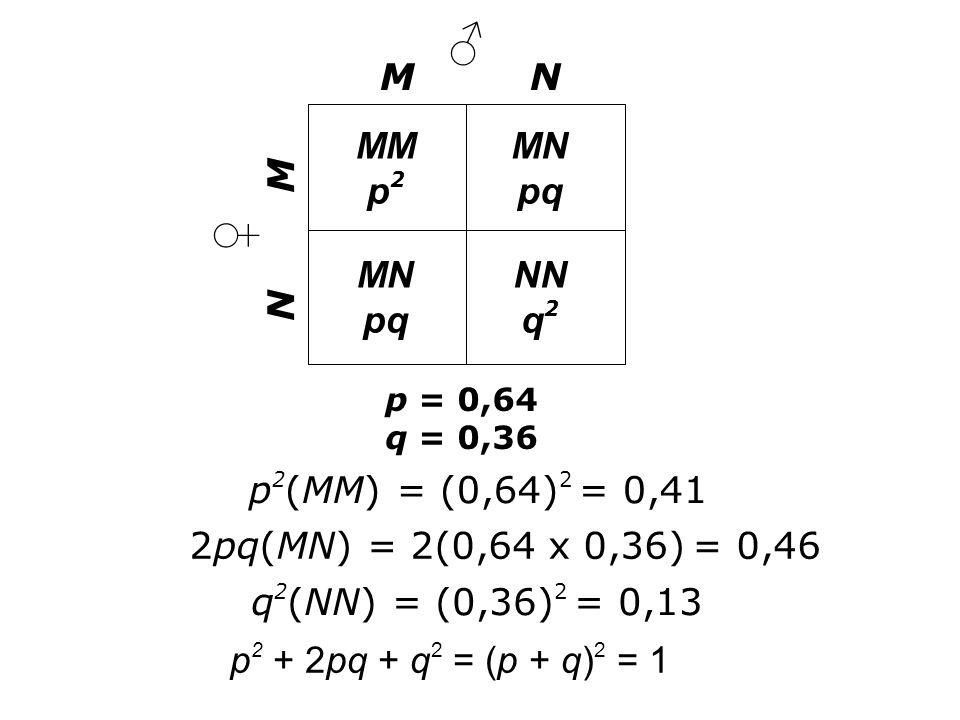 ♂ ♀ M N MM p2 MN pq NN q2 p2(MM) = (0,64)2 = 0,41