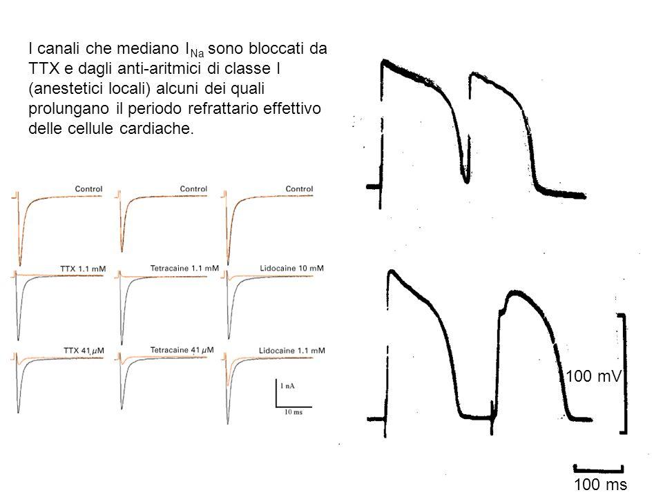 I canali che mediano INa sono bloccati da TTX e dagli anti-aritmici di classe I (anestetici locali) alcuni dei quali prolungano il periodo refrattario effettivo delle cellule cardiache.