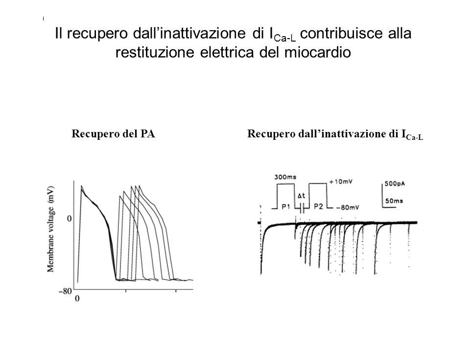 Il recupero dall'inattivazione di ICa-L contribuisce alla restituzione elettrica del miocardio