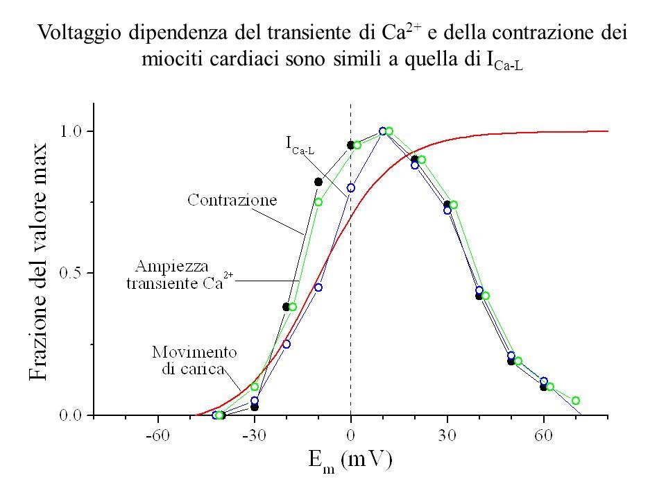 Voltaggio dipendenza del transiente di Ca2+ e della contrazione dei miociti cardiaci sono simili a quella di ICa-L