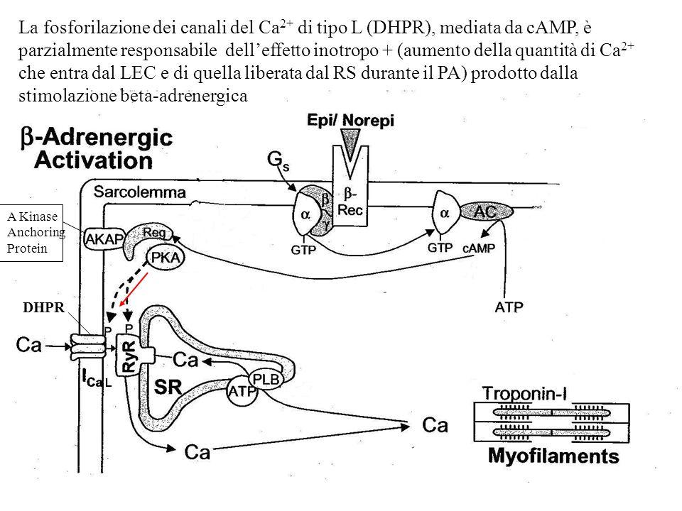 La fosforilazione dei canali del Ca2+ di tipo L (DHPR), mediata da cAMP, è parzialmente responsabile dell'effetto inotropo + (aumento della quantità di Ca2+ che entra dal LEC e di quella liberata dal RS durante il PA) prodotto dalla stimolazione beta-adrenergica