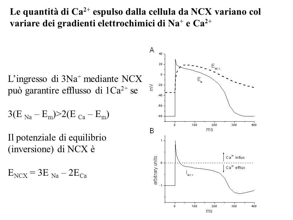 Le quantità di Ca2+ espulso dalla cellula da NCX variano col variare dei gradienti elettrochimici di Na+ e Ca2+
