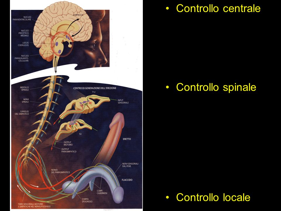 Controllo centrale Controllo spinale Controllo locale