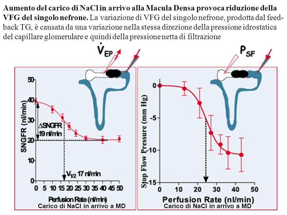 Aumento del carico di NaCl in arrivo alla Macula Densa provoca riduzione della VFG del singolo nefrone. La variazione di VFG del singolo nefrone, prodotta dal feed-back TG, è causata da una variazione nella stessa direzione della pressione idrostatica del capillare glomerulare e quindi della pressione netta di filtrazione