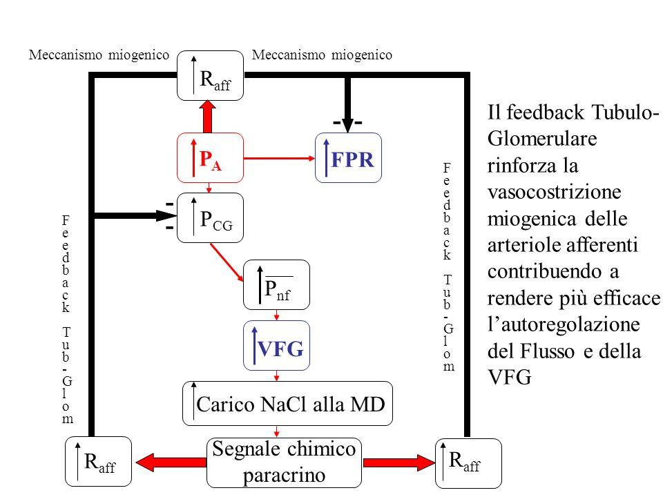 Meccanismo miogenico Meccanismo miogenico. Raff.
