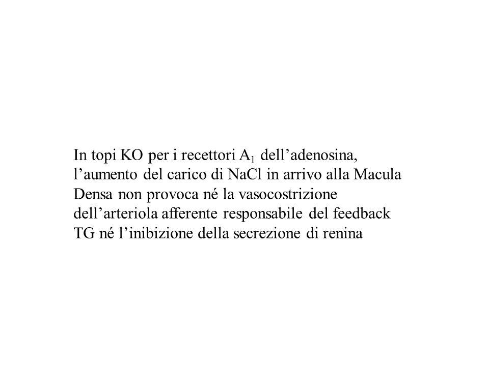 In topi KO per i recettori A1 dell'adenosina, l'aumento del carico di NaCl in arrivo alla Macula Densa non provoca né la vasocostrizione dell'arteriola afferente responsabile del feedback TG né l'inibizione della secrezione di renina