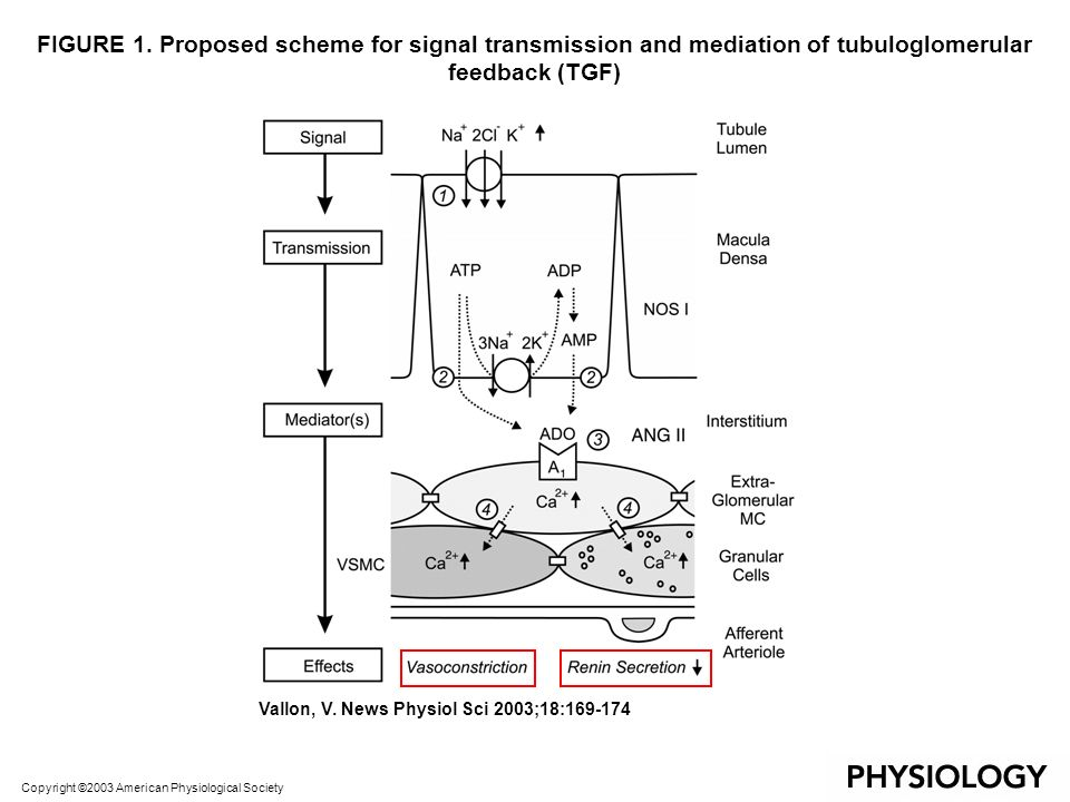 FIGURE 1. Proposed scheme for signal transmission and mediation of tubuloglomerular feedback (TGF)