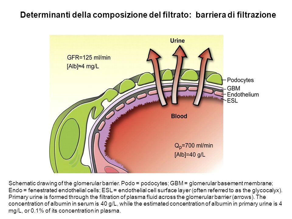 Determinanti della composizione del filtrato: barriera di filtrazione