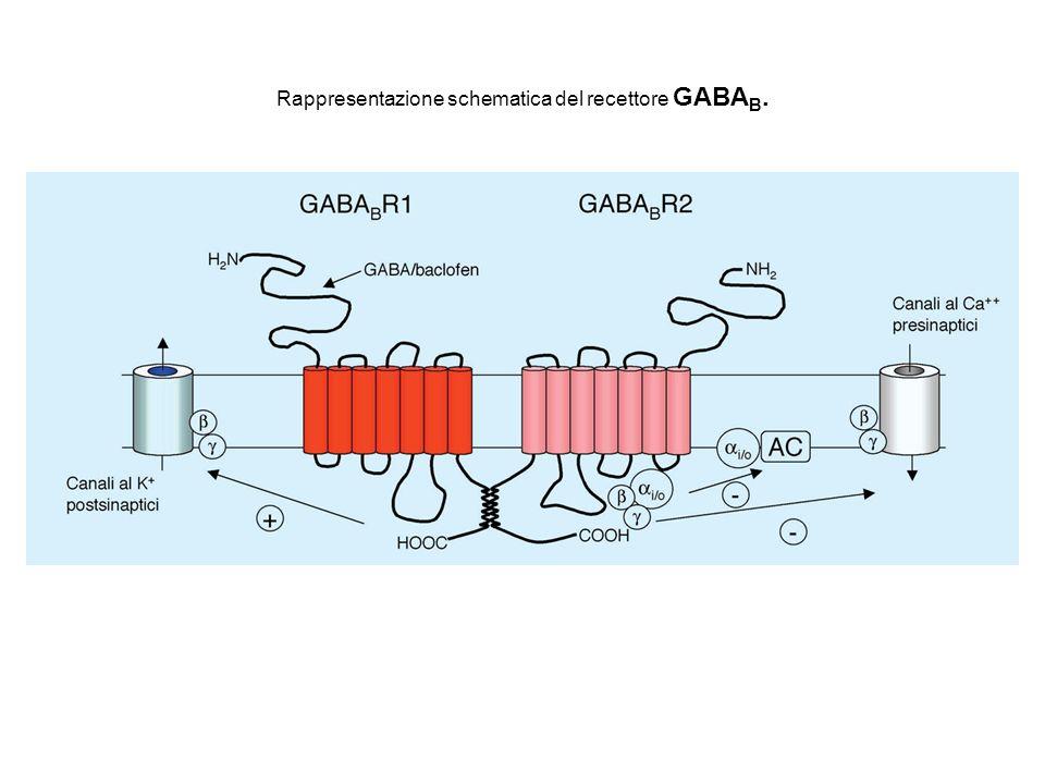 Rappresentazione schematica del recettore GABAB.