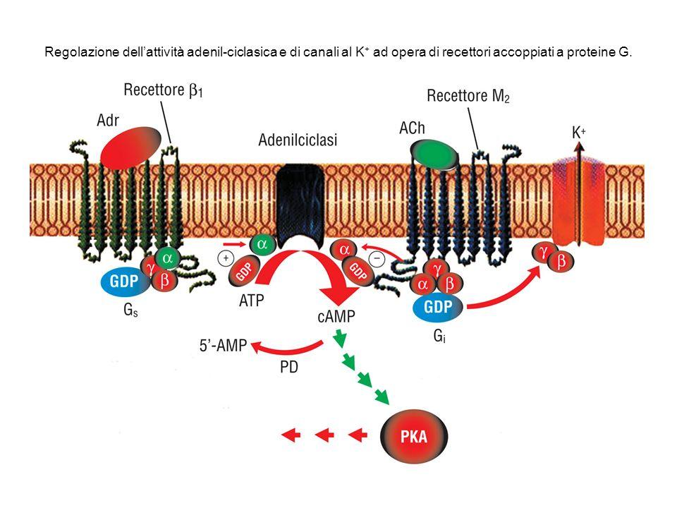 Regolazione dell'attività adenil-ciclasica e di canali al K+ ad opera di recettori accoppiati a proteine G.