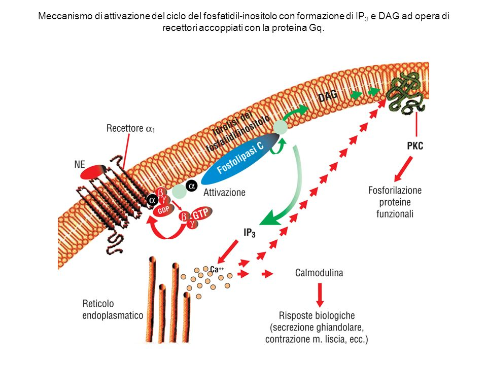 Meccanismo di attivazione del ciclo del fosfatidil-inositolo con formazione di IP3 e DAG ad opera di recettori accoppiati con la proteina Gq.