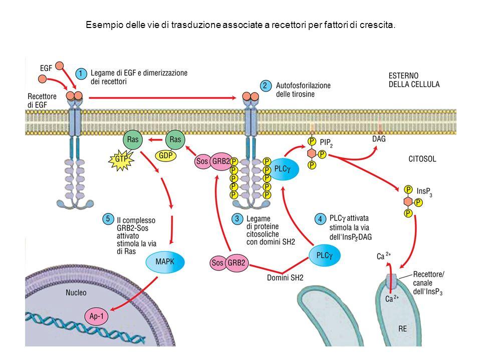 Esempio delle vie di trasduzione associate a recettori per fattori di crescita.