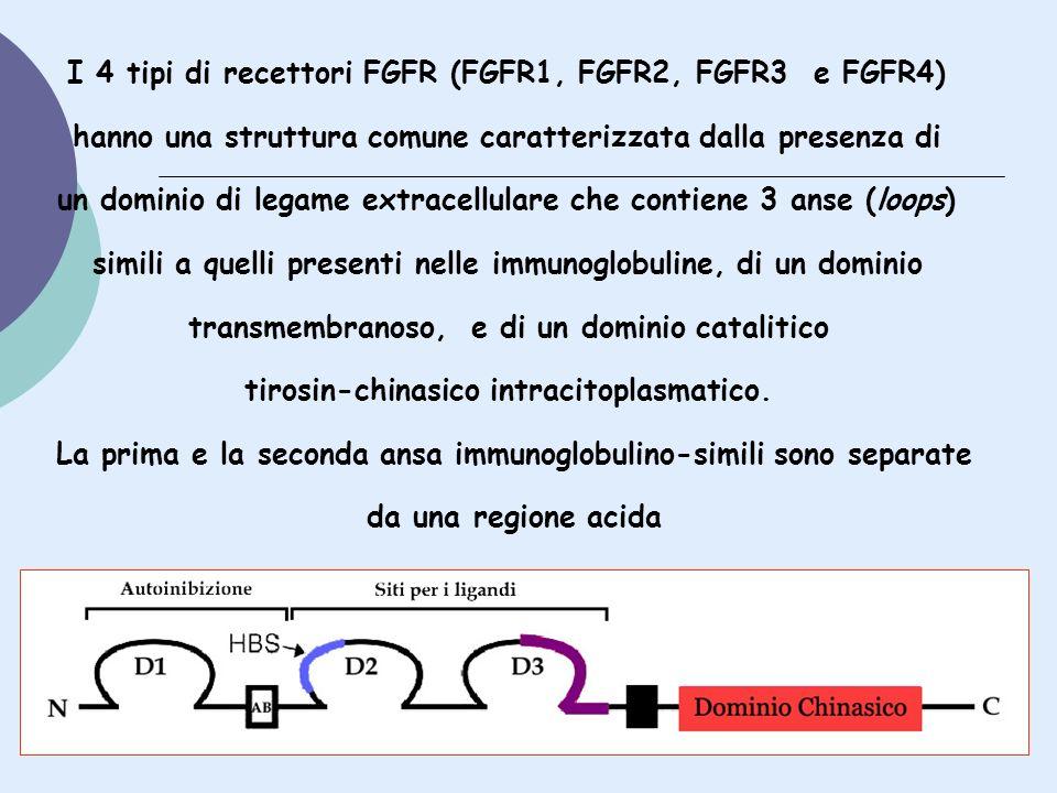 I 4 tipi di recettori FGFR (FGFR1, FGFR2, FGFR3 e FGFR4)