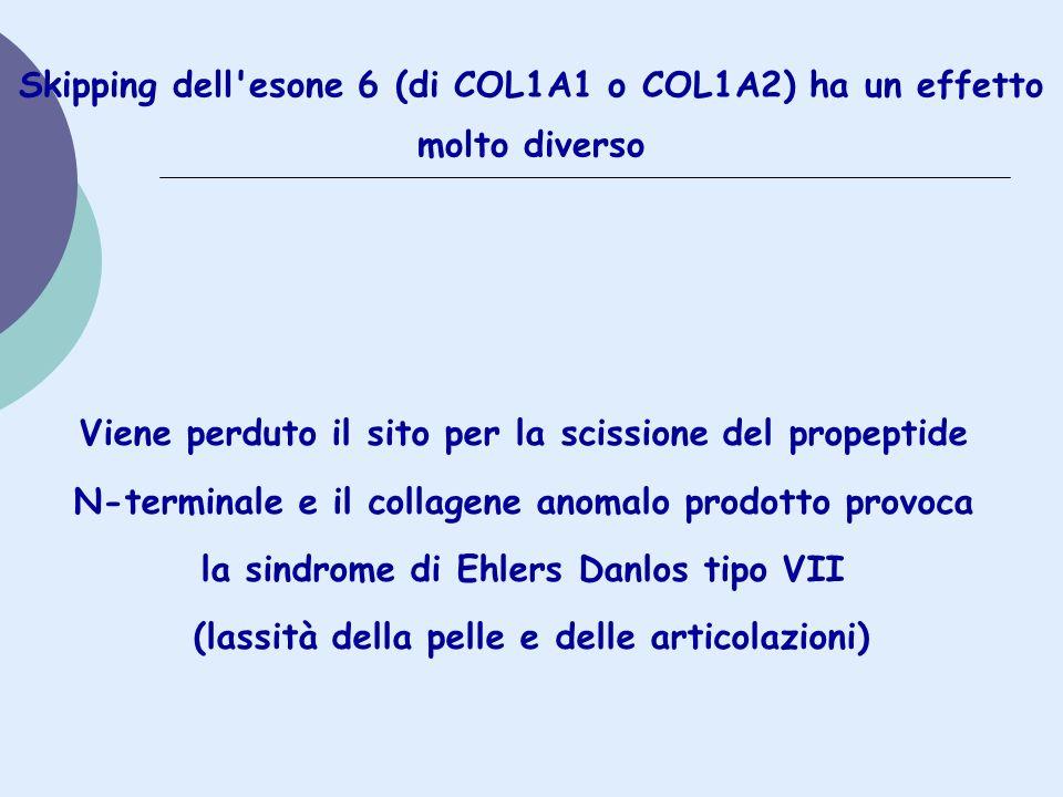Skipping dell esone 6 (di COL1A1 o COL1A2) ha un effetto molto diverso