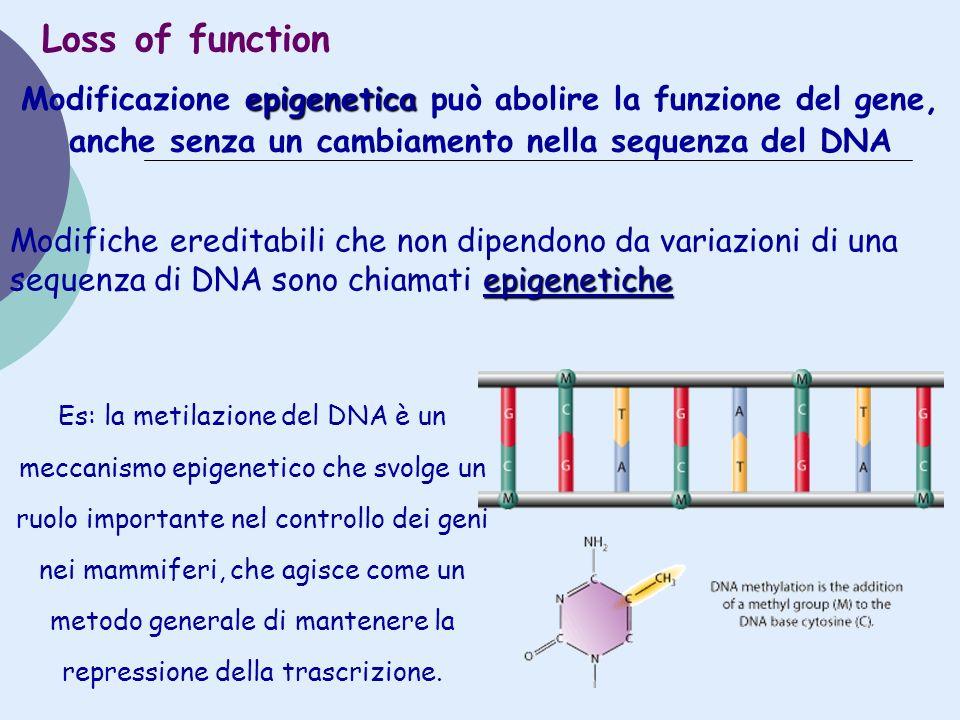 Loss of function Modificazione epigenetica può abolire la funzione del gene, anche senza un cambiamento nella sequenza del DNA.