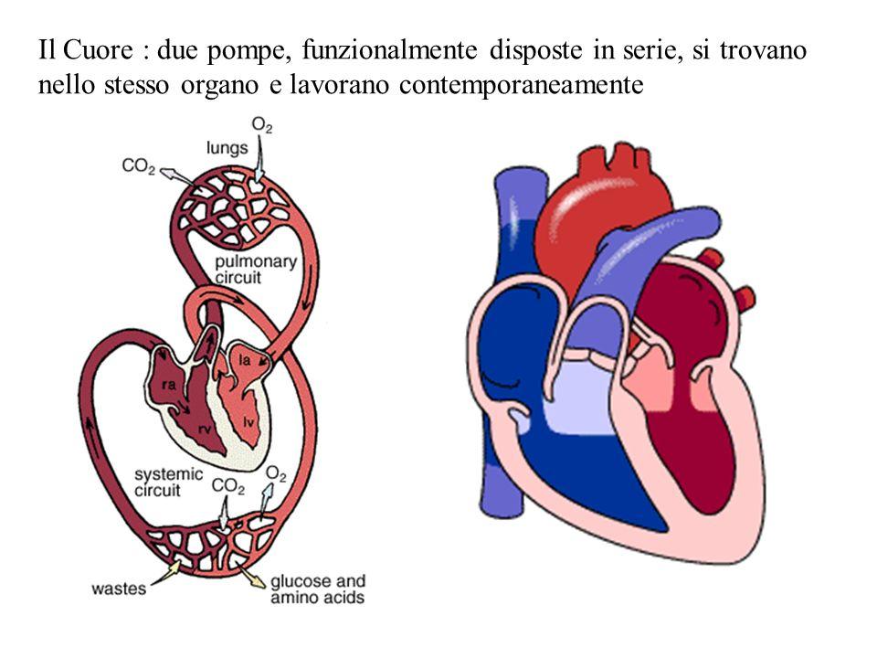 Il Cuore : due pompe, funzionalmente disposte in serie, si trovano nello stesso organo e lavorano contemporaneamente