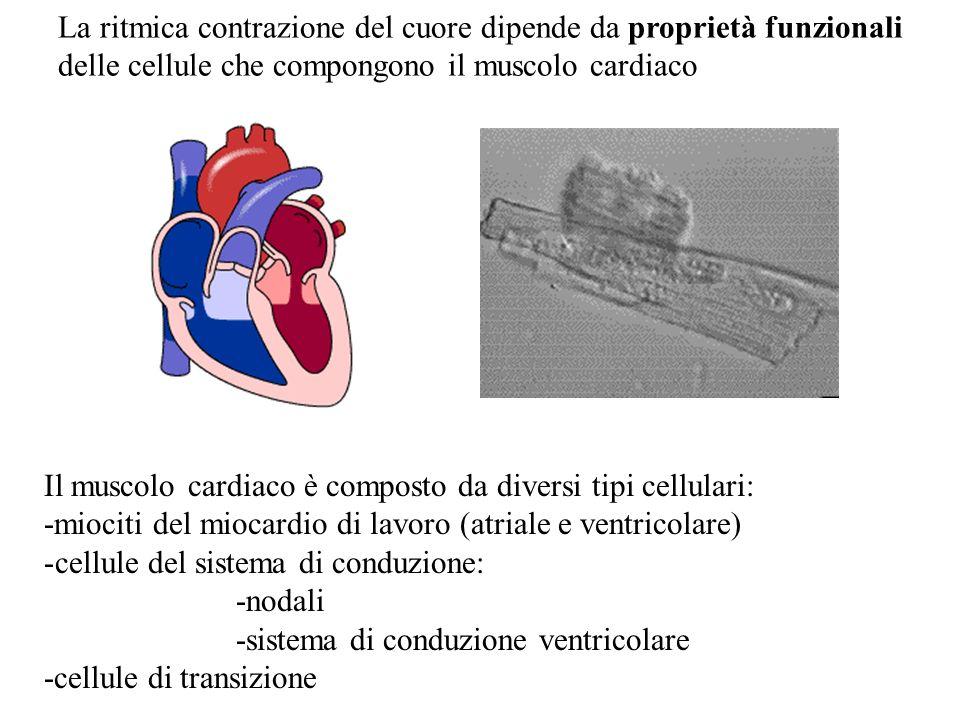 La ritmica contrazione del cuore dipende da proprietà funzionali delle cellule che compongono il muscolo cardiaco