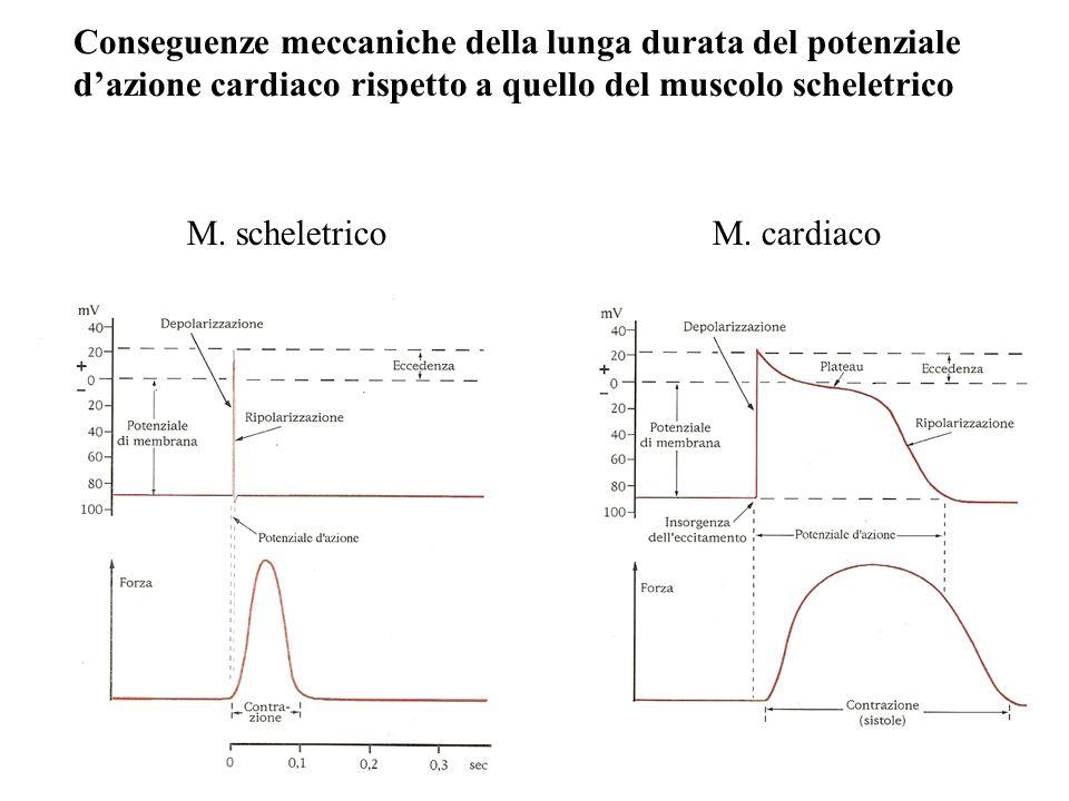 Conseguenze meccaniche della lunga durata del potenziale d'azione cardiaco rispetto a quello del muscolo scheletrico