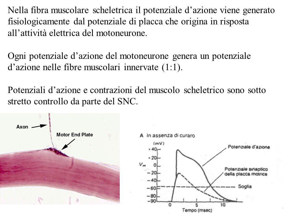 Nella fibra muscolare scheletrica il potenziale d'azione viene generato fisiologicamente dal potenziale di placca che origina in risposta all'attività elettrica del motoneurone.