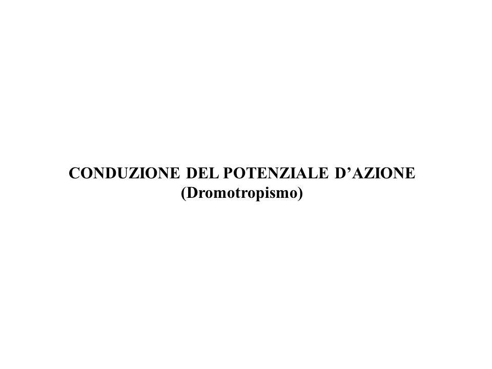 CONDUZIONE DEL POTENZIALE D'AZIONE (Dromotropismo)