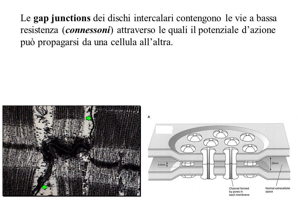 Le gap junctions dei dischi intercalari contengono le vie a bassa resistenza (connessoni) attraverso le quali il potenziale d'azione può propagarsi da una cellula all'altra.