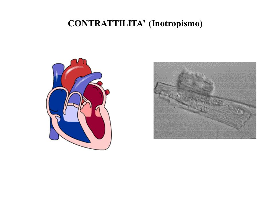 CONTRATTILITA' (Inotropismo)