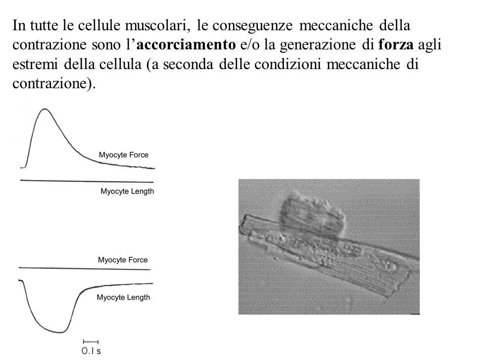 In tutte le cellule muscolari, le conseguenze meccaniche della contrazione sono l'accorciamento e/o la generazione di forza agli estremi della cellula (a seconda delle condizioni meccaniche di contrazione).
