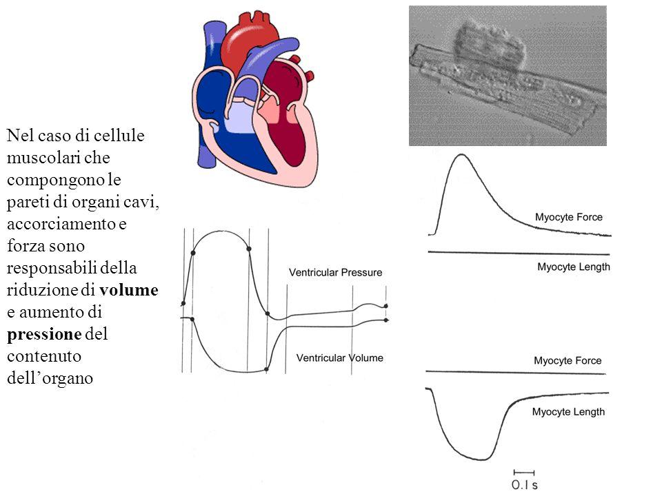 Nel caso di cellule muscolari che compongono le pareti di organi cavi, accorciamento e forza sono responsabili della riduzione di volume e aumento di pressione del contenuto dell'organo